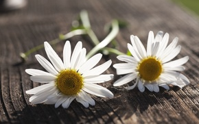 Picture white, flowers, background, widescreen, Wallpaper, chamomile, Daisy, wallpaper, flowers, flower, widescreen, background, full screen, HD ...