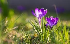 Picture spring, crocuses, bokeh