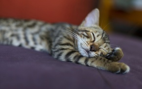 Picture cat, cat, grey, stay, sleep, striped
