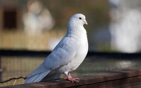 Picture white, bird, dove