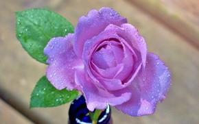 Picture flower, water, drops, rose, petals