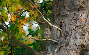 Picture leaves, nature, tree, owl, bird, branch, owlet