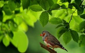 Wallpaper leaves, bird, branch, Australia, Chaffinch