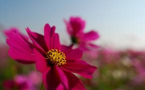 Picture field, flower, summer, the sky, macro, bright, pink, petals, kosmeya