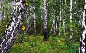 Picture autumn, forest, nature, background, Siberia, Birch