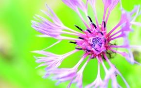 Picture flower, background, cornflower