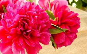 Picture flowers, widescreen, Wallpaper, wallpaper, widescreen, background, the Wallpapers, peonies, peony, full screen, HD wallpapers, widescreen, …