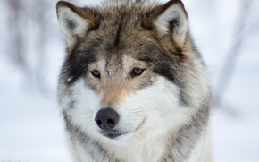 Picture winter, animals, snow, wolf, portrait, wolves