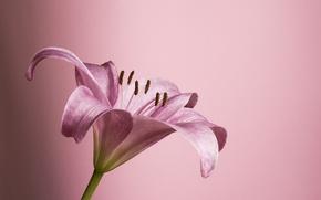 Picture flower, pink, petals