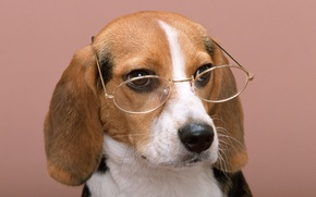 Picture dog, glasses, glasses, wise dog