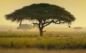 Picture Africa, Kenya, Umbrella acacia тree