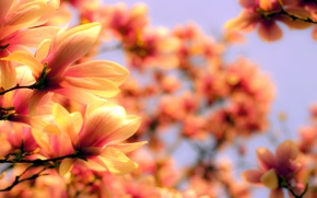 Picture flowers, branches, nature, spring, petals, blur, bright, flowering, Magnolia, twigs