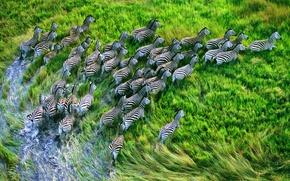Wallpaper grass, apple, Zebra, zebras, mountain lion, retina