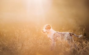 Picture field, rays, light, dog, puppy, Wallpaper from lolita777, Aussie