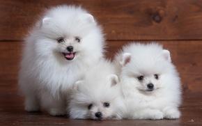 Picture white, cute, puppy, trio, Spitz