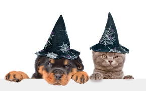 Picture cat, dog, white background, hats, Halloween, caps