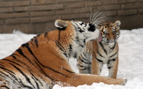 Picture cat, snow, love, tiger, kiss, family, kitty, tigress, tiger, Amur