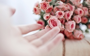 Picture flowers, pink, roses, .