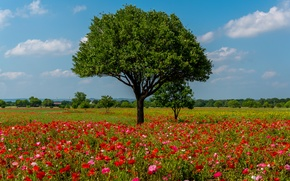 Wallpaper flowers, Texas, summer, red, trees, Austin, field, Maki, the sun, the sky, clouds, USA
