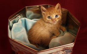 Picture look, kitty, Cat, red, lies, in the box