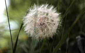 Picture summer, macro, dandelion