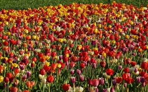 Picture field, nature, spring, Tulips, field, nature, tulips, spring