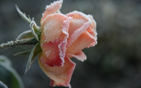 Picture cold, frost, flower, macro, flowers, background, Wallpaper, rose, plant, morning, garden, frost