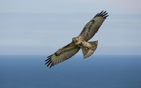 Picture sky, pacific ocean, flight, red-tailed hawl