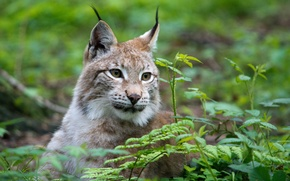 Picture cat, grass, face, lynx