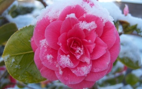 Picture flower, snow, casting, Camellia