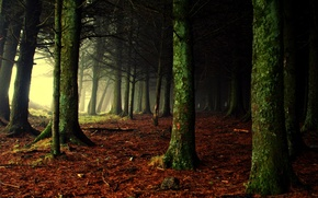 Picture forest, light, nature, fog