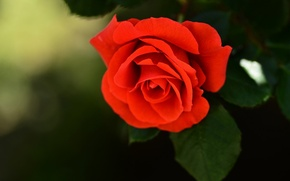 Picture flower, rose, Bud, bright red
