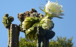 Picture cactus, pinya de rosa, blanes