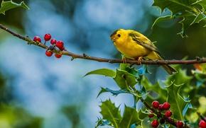 Picture berries, bird, branch, Warbler