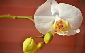Picture petals, white, Orchid