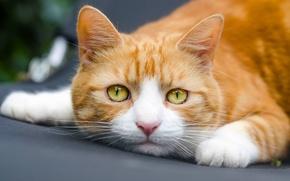 Picture cat, cat, look, muzzle, red cat