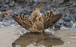 Picture autumn, puddle, Sparrow, bathed