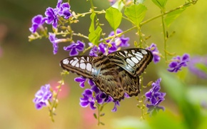 Picture macro, flowers, butterfly, Sylvia Tiger, duranta