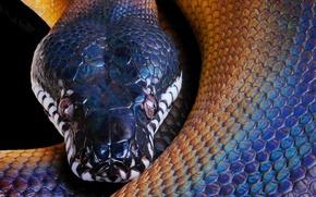Wallpaper Python, snake