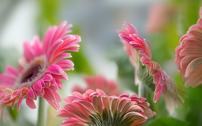 Picture flowers, nature, gerbera