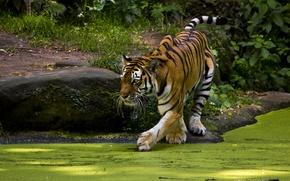 Picture tiger, interest, pond, predator