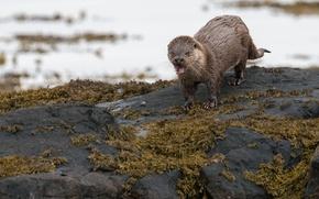 Wallpaper otter, background, nature