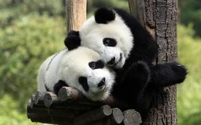 Wallpaper bear, Panda, stay