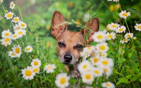 Picture flowers, chamomile, dog, face