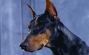 Wallpaper Doberman, dobermann, dogs