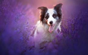 Wallpaper nature, lavender, dog