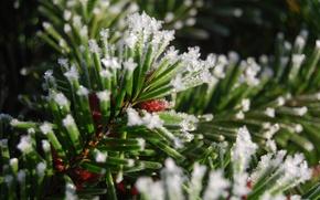 Picture ice, macro, snow, needles, branch, needles