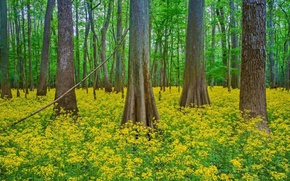 Picture forest, trees, flowers, South Carolina, USA, Congaree National Park