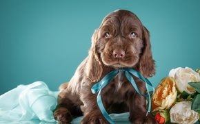 Picture flowers, bow, Spaniel