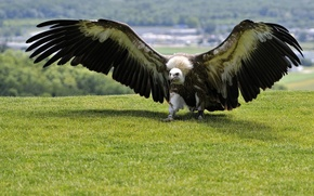 Picture BACKGROUND, GRASS, WINGS, BIRD, PREDATOR, TAIL, GREEN, The SCOPE